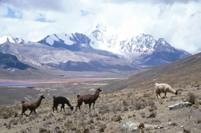Llamas gazing on the Altiplano in Bolivia